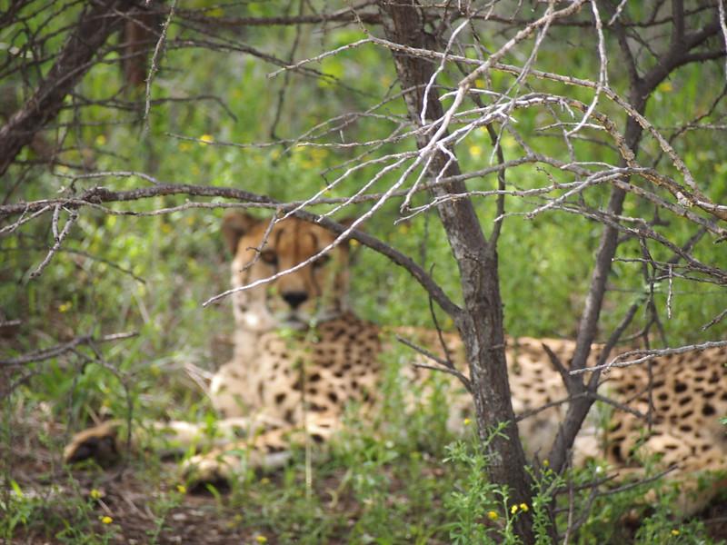 P3271046-cheetah-behind-tree.JPG