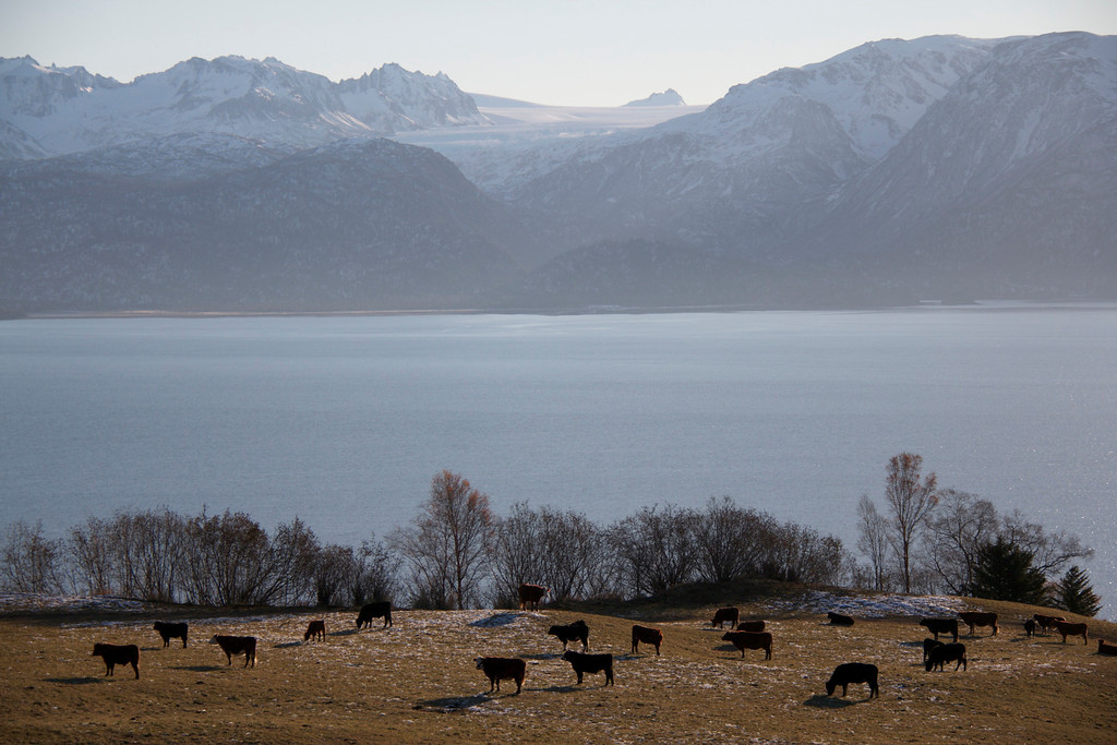 . Cows standing up on the homestead with the mountains in the distance.  Provided by Discovery Channel