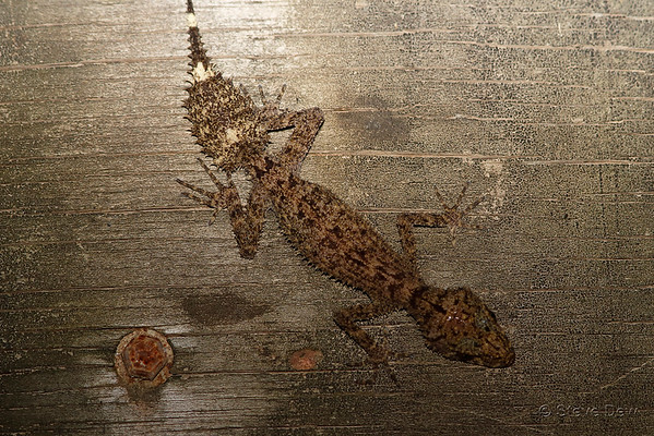 Peppered-Belly Broad-Tailed Gecko