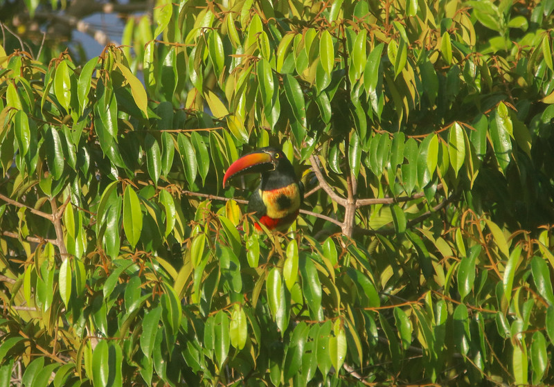 Fiery billed Aracari Toucan (Cusinga) in Costa Rica