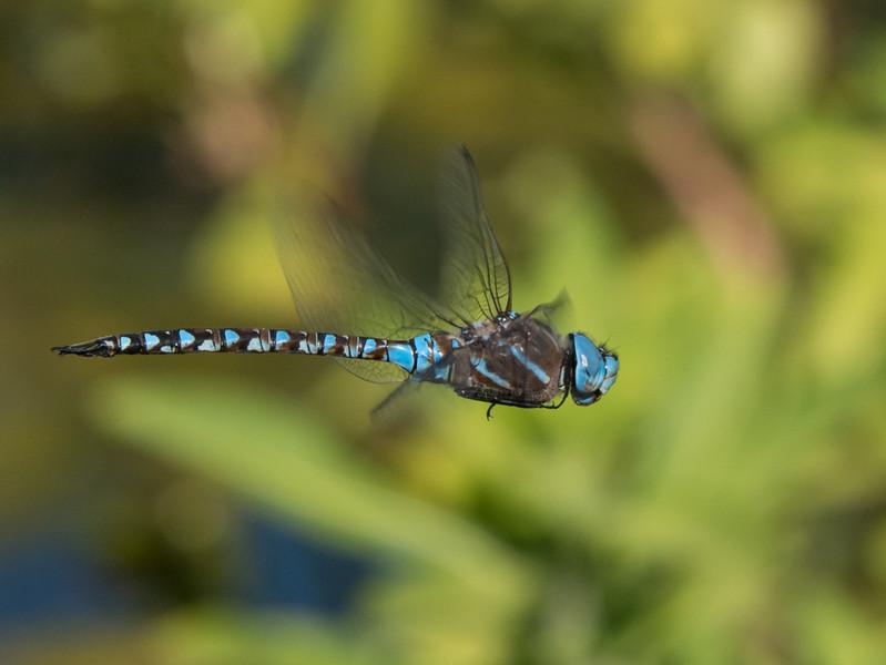 Blue Eyed Darner (M) - Aeshna multicolor