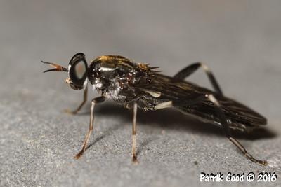 Garden Soldier Fly