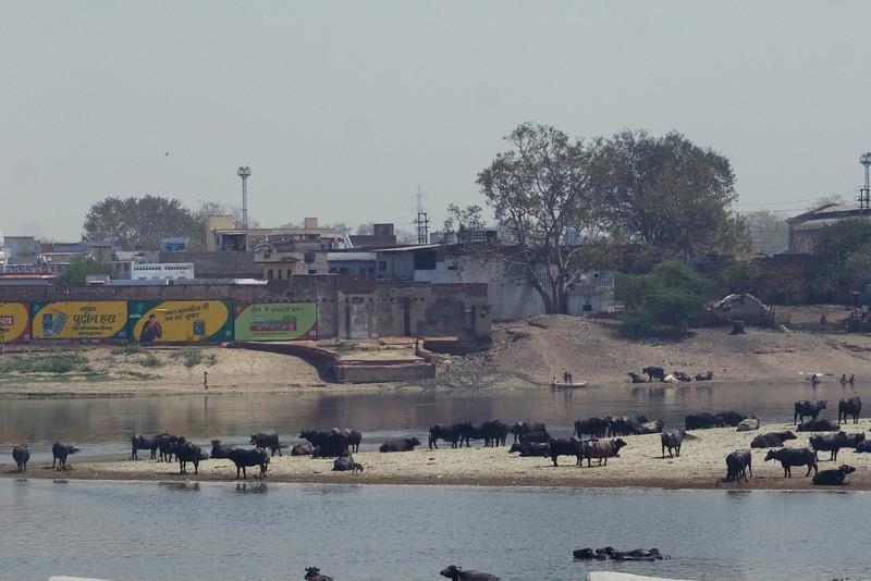 Water Buffalo in River.jpg