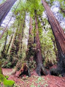 Henry Cowell Redwoods Winter 2019