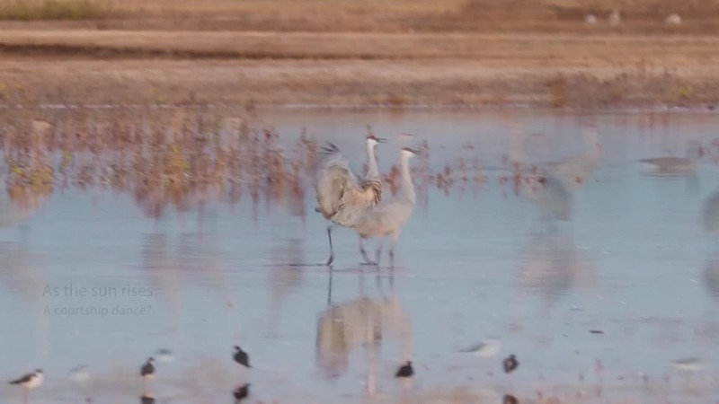 Cranes Dancing with added stills_1.mp4