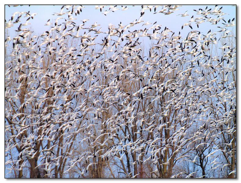 ericbegin Snow Geese