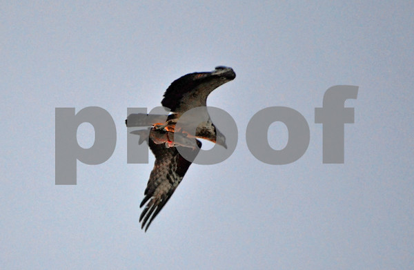 Osprey w Catfish, GBHeron, Rising Moon May 3, 2015