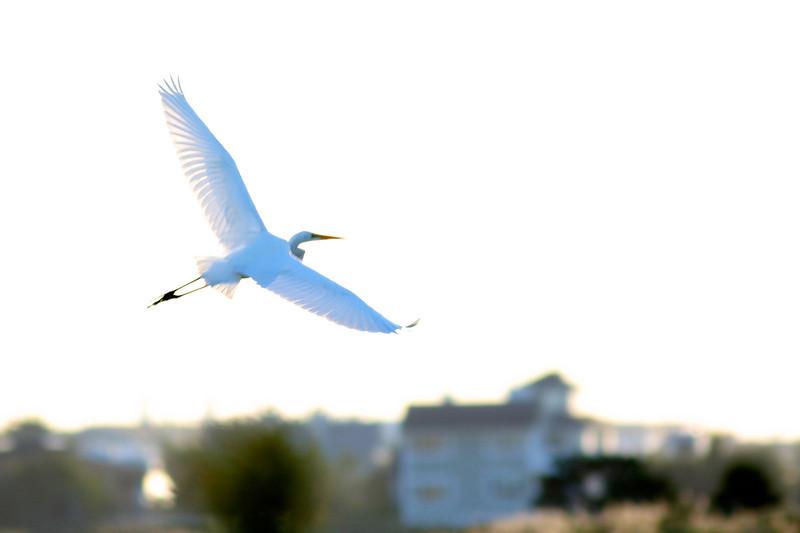 A great egret in flight. Beach Lane Bridge, Westhampton Beach, NY.