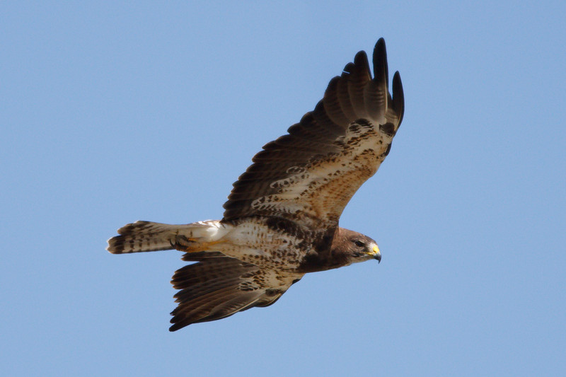 Swainson's Hawk intermediate morph adult (8) at Firebaugh, CA (07-18-2009)