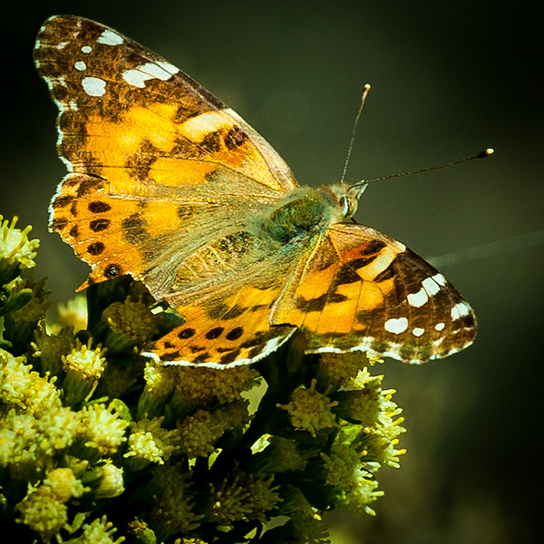 Painted Lady 2.jpg