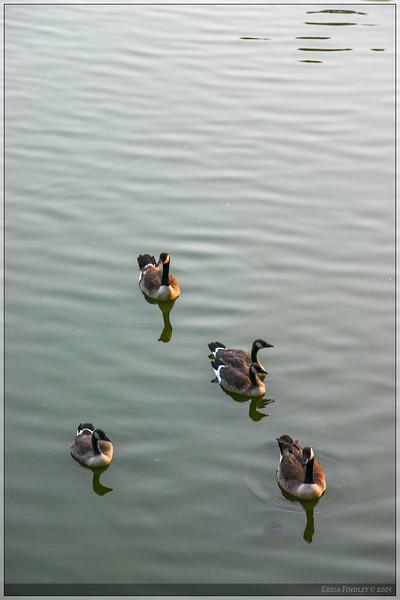 Geese_34.jpg