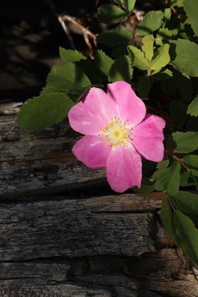 Mountain Pink Rose.jpg