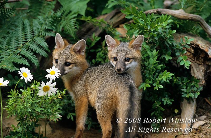 Fox - Gray