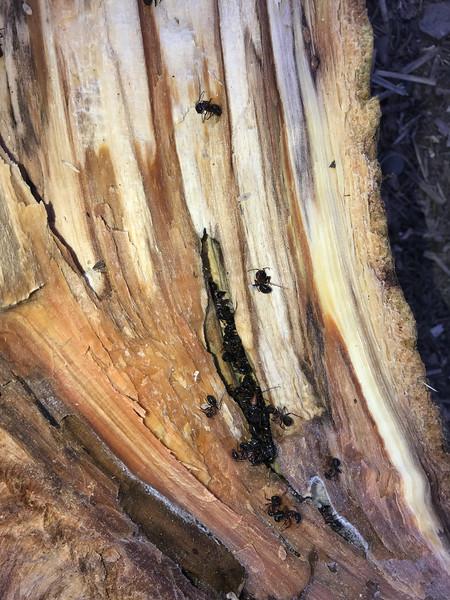 Carpenter Ants Formica in excavated burrow in tree trunk firewood Skogstjarna Carlton County MN IMG_0958.jpg