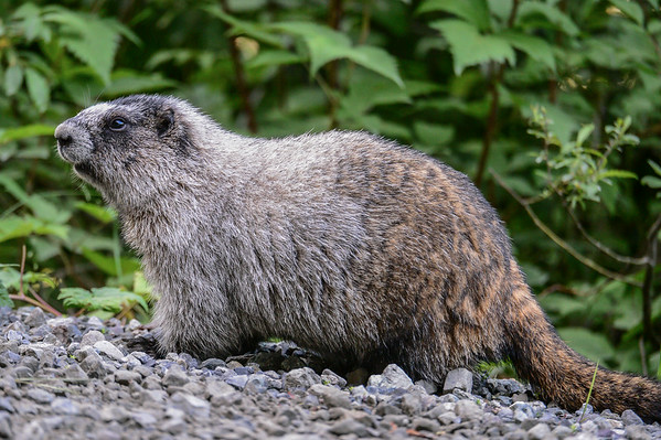 8-03-14 Hoary Marmott