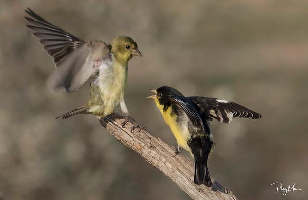 Goldfinch x 2lLL.jpg