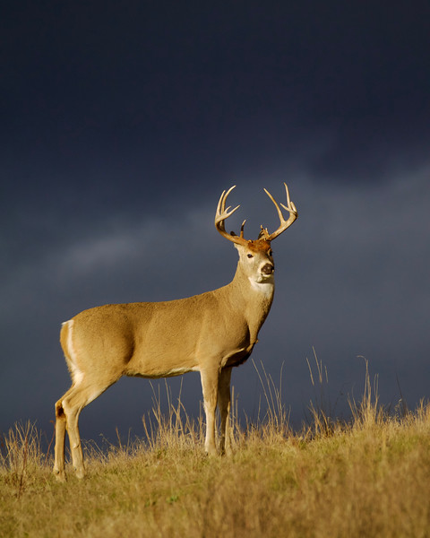 Whitetails in the Wild IMP - 1 (21).jpg