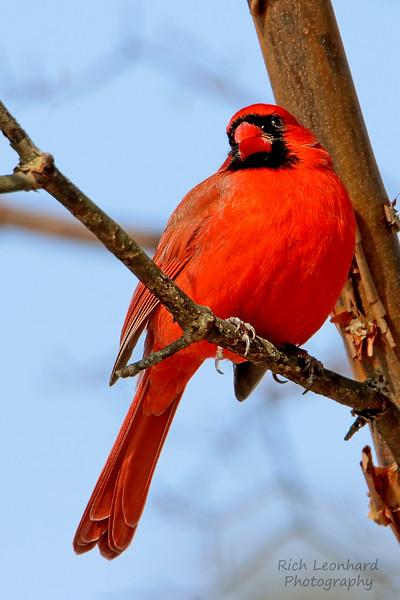 Beautiful Male Cardinal at Clark Botanic Garden