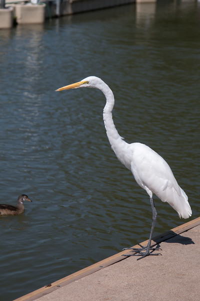 White egret or heron at boat dock -- A paddle boat trip through the canals and Post-Dispatch Lake of Forest Park, St. Louis