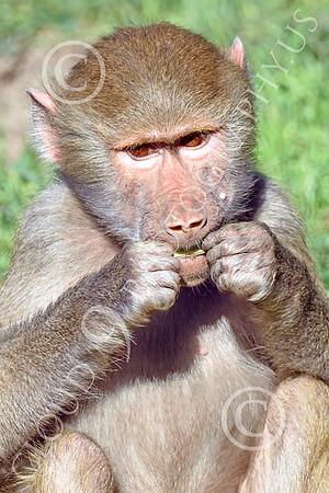 Hamadryas Baboon Wildlife Photography
