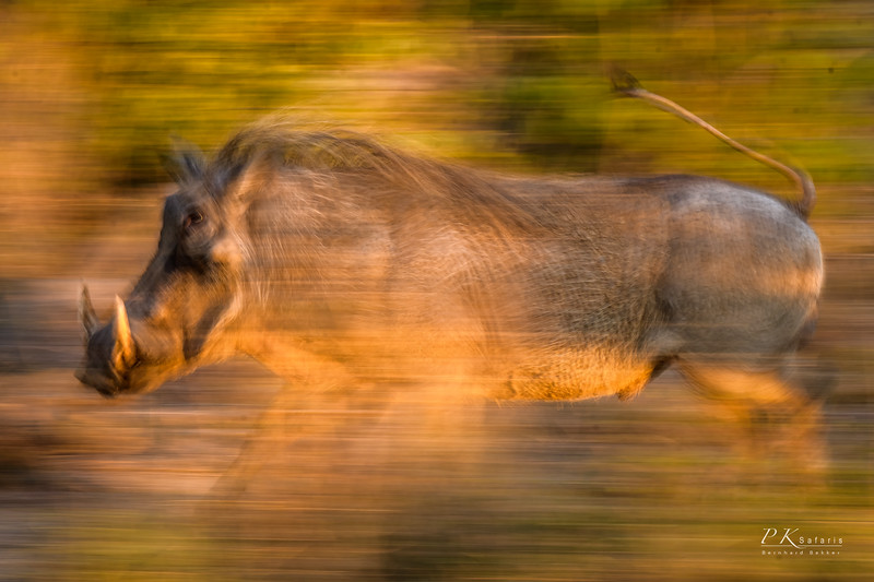 Warthog panning  (1 of 1).jpg