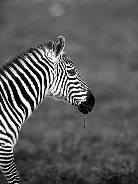 zebra in profile B W.jpg