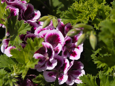 Geranium (Regal) - Candy Flowers Bicolor