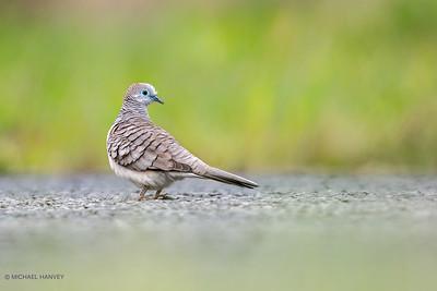 Doves, Fruit-Doves, Cuckoo-Doves, Pigeons