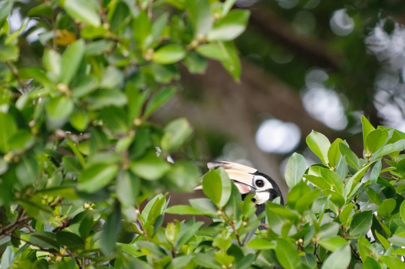 Der erste Hornbill war nur schwer zu sehen.