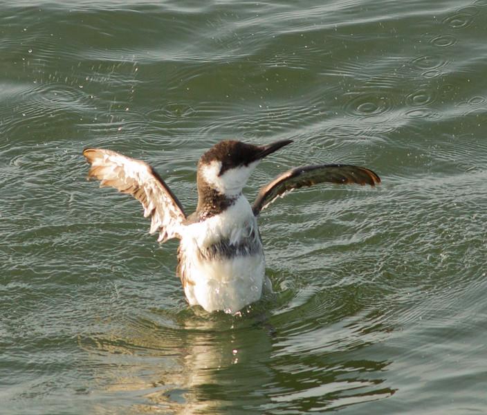 Common Murre  Oceanside 2012 03 14 (5 of 6).CR2