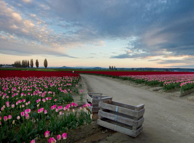 tulips crates sky.jpg