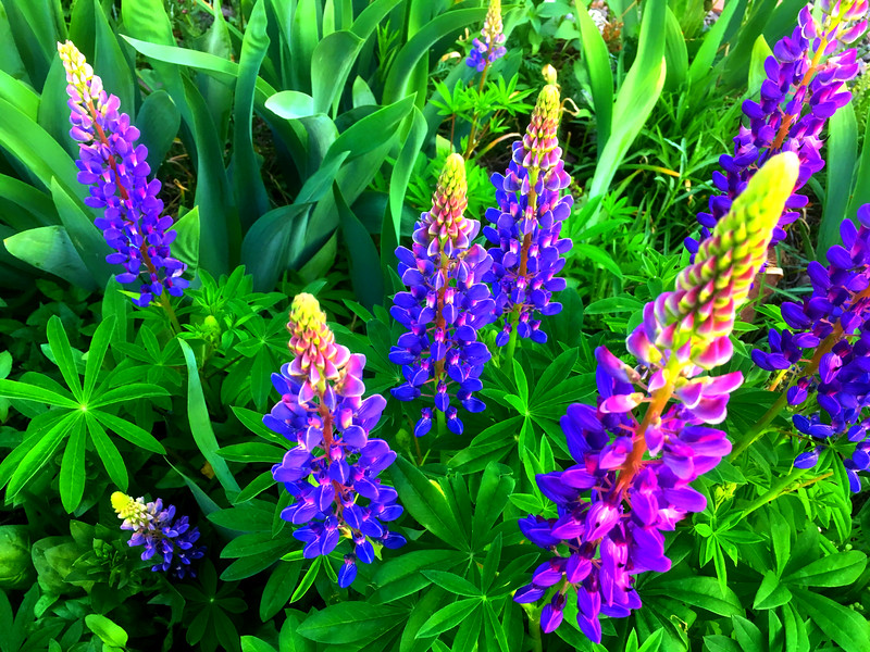 Towers of Lupine