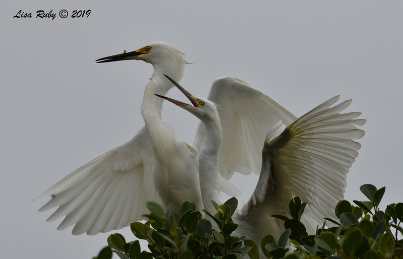 Snowy Egret adult and juvenile in nest tree  - 6/24/2019 - Imperial Beach Sports Park