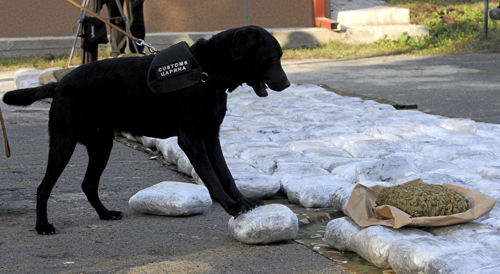 . A Macedonian customs dog stands on a package containing marijuana, one of hundreds displayed at police quarters after they were seized at a border crossing, in Skopje, Macedonia, Tuesday, Nov. 27, 2012. Macedonian custom officers seized over 500 kilograms (1100 pounds) of marijuana at a Macedonian border crossing with neighboring Albania and detained the truck driver, police said. The marijuana, which is believed to have originated from Albania and destined for distribution in western Europe, has an estimated euro 3 million (US$ 3.8 million) street value. (AP Photo/Boris Grdanoski)