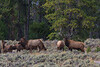 Herd Bull