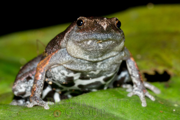 Narrow-mouthed Toads (Microhylidae)