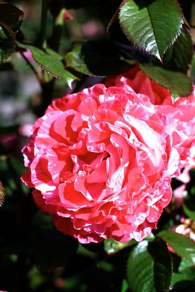 Portland International Rose Test Garden  2204.jpg
