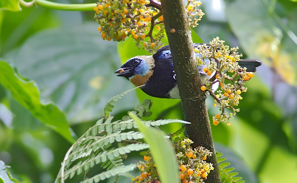 Goldenhooded Tanager