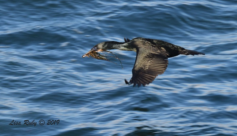 Brandt's Cormorant with nesting material - 3/8/2019 - La Jolla Cove