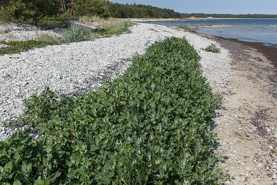 Amaranthaceae Amarantväxter