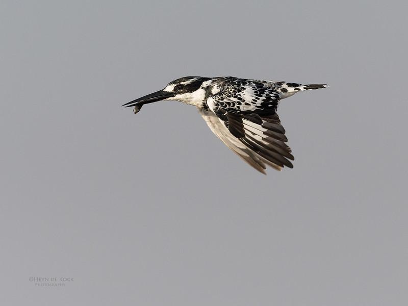 Pied Kingfisher, Chobe River, NAM, Oct 2016-1.jpg