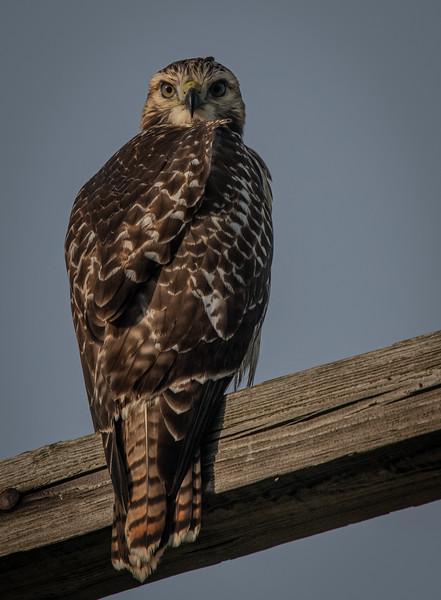 """Red-Tail juvenile """"Scrappy's"""" chick"""