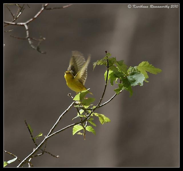 Yellow Warbler, Zion National Park, Utah, May 2010