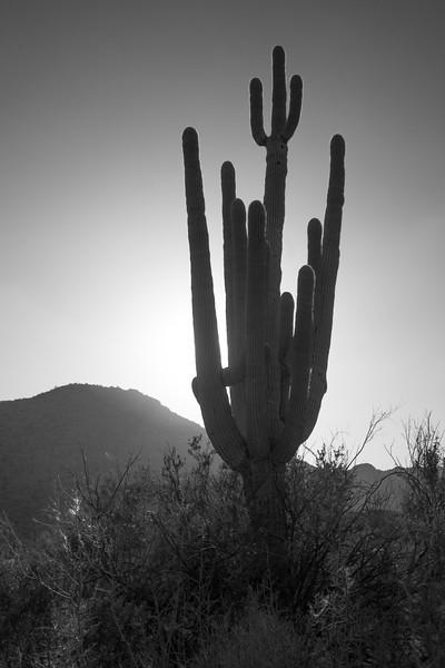 Suguaro Cactus