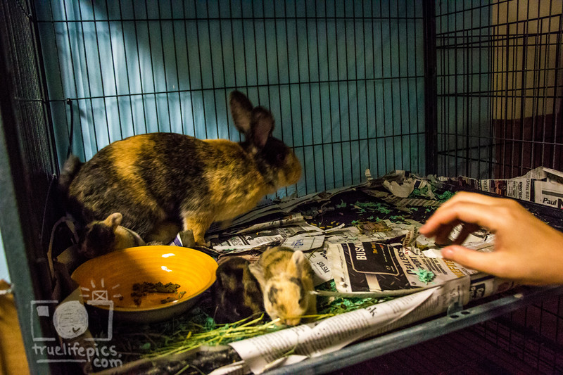 August 16, 2016 12 day old kits visit Daddy Bunny (9).jpg