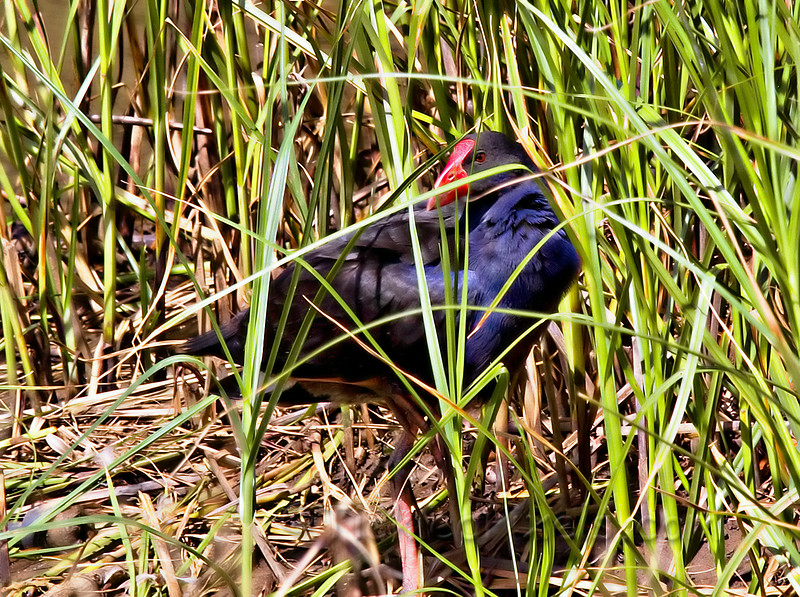 Pukeko Hiding in the Grass
