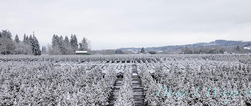Conifer can yard in snow_4088.jpg