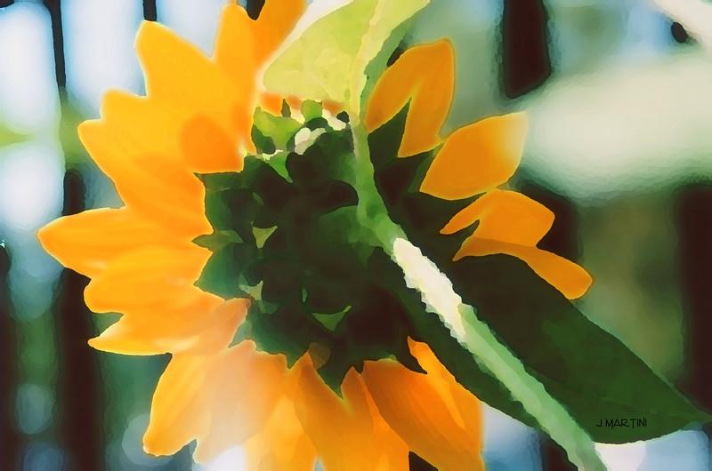 sunflower 7-22-2008.jpg
