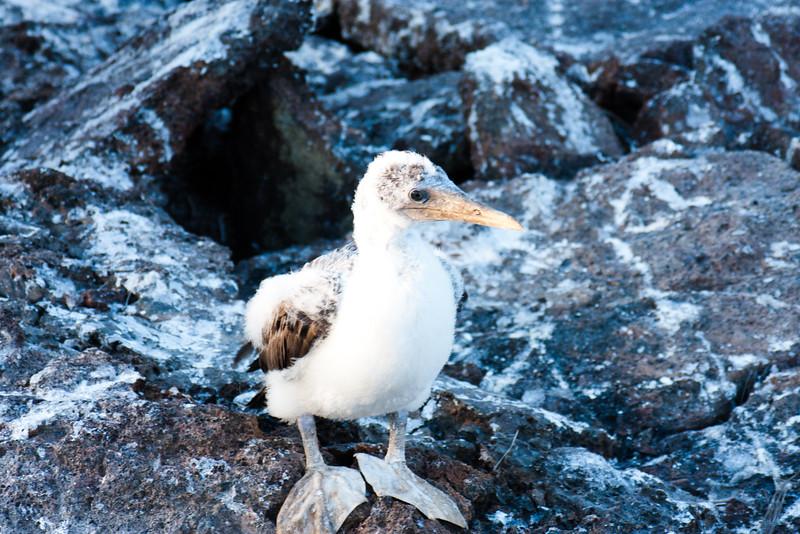 Lone Bird on the Rocks : Journey into Genovesa Island in the Galapagos Archipelago