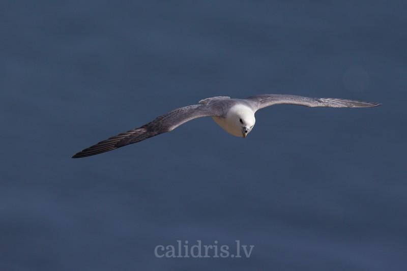 Northern fulmar in a flight